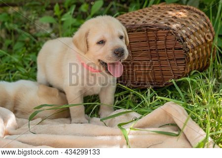 Labrador puppy, beautiful little dog in the green grass near basket