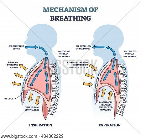 Mechanism Of Breathing As Anatomical Process Explanation Outline Diagram. Labeled Educational Scheme