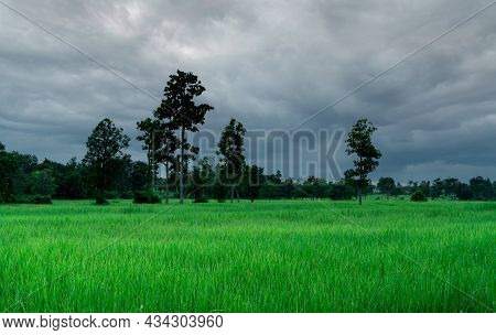 Landscape Green Rice Field And Cloudy Sky. Rice Farm With Tropical Tree. Agriculture Land Plot For S