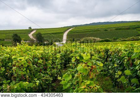 View On Green Pinot Noir Grand Cru Vineyards Of Famous Champagne Houses In Montagne De Reims Near Ve