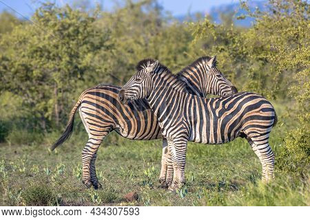 Two Common Zebra (equus Quagga) Grooming Each Other In Bushveld Savanna Of Kruger National Park Sout