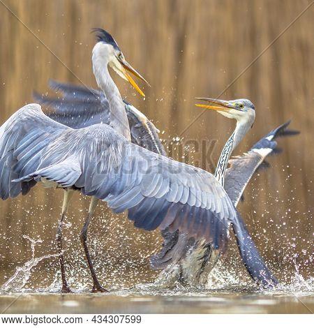 Two Grey Herons Fighting Over Territory At Lake Csaj, Kiskunsagi National Park, Pusztaszer, Hungary.