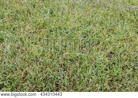 Green Meadow Grass Texture For Background. Green Lawn. Sample. Close-up.
