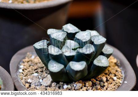 Haworthia ,haworthia Truncata Or Cactus Or Succulents