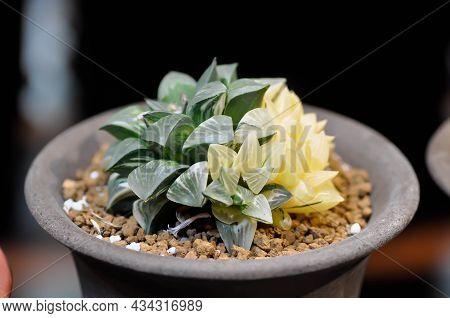 Haworthia ,haworthia Tsukikage Or Cactus Or Succulents
