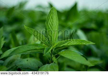 Jute Leaves, Also Known As Saluyot, Jew's Mallow Or Jute Mallow, Is An Amazing Superfood That Has A
