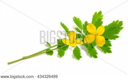 Celandine Flowers Isolated On A White Background