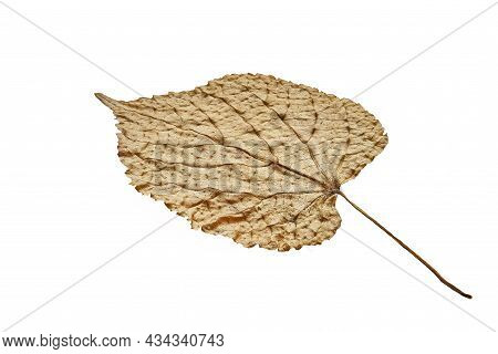 A Dried Poplar Leaf Is Yellow On A White Isolated Background Close-up. Pronounced Poplar Leaf Textur