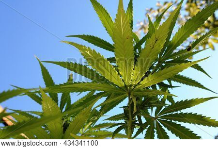 Beautiful Leaves Of Cannabis Growing Outdoors In The Glare Of Sunlight, Bright Textured Foliage Of T