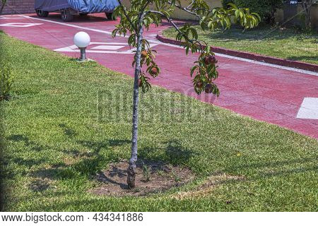 Close Up View Of Peach Tree On Red Stone Pathway. Greece.
