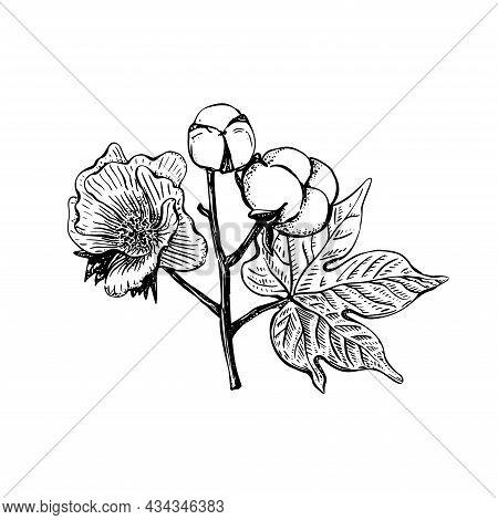 Black Sketch Cotton Flower In Vintage Style On A White Background. Vintage Vector Illustration. Deco