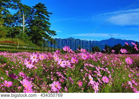 Beautiful Scenery Of Cosmos Bipinnatus(garden Cosmos,mexican Aster) Flowers With Mountains,many Pink