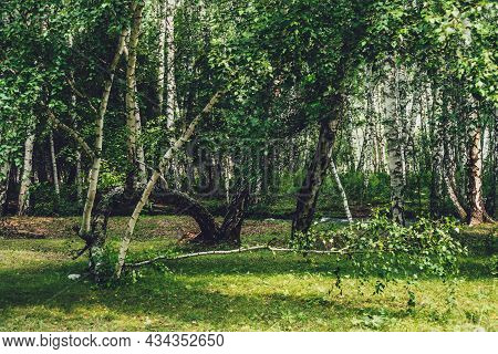 Scenic Forest Landscape With Russian Birches And Greenery In Vintage Tones. Vivid Green Summer Scene