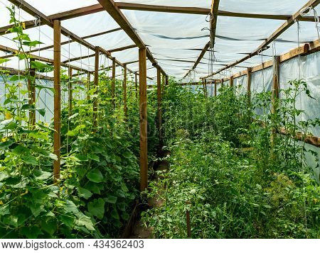 Photo From Inside The Greenhouse. Home Greenhouse From Foil For Growing Cucumbers And Tomatoes.