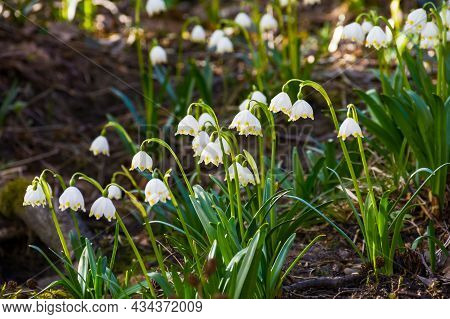 Beautiful Nature Background In Spring Season. Close Up Photo Of Summer Snowflake Flowers On The Glad