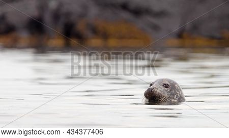 Adult Seal In Iceland, Relaxing In The Water, Cold Waters Of The Atlantic Ocean