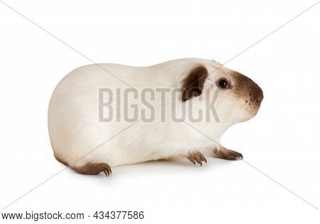 One Year Old Guinea Pig Lying Against White Background