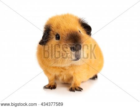 Funny Guinea Pig Portrait Isolated On White Background