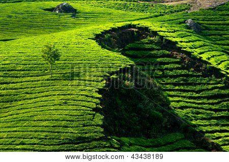 Tea Plantation Landscape. Munnar, Kerala, India
