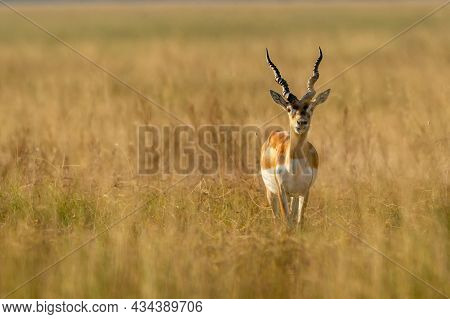 Wild Male Blackbuck Or Antilope Cervicapra Or Indian Antelope Head On In Grassland Of Tal Chhapar Sa