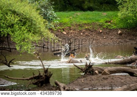 Two Adult Wild Male Bengal Tiger Fighting In Water In Rainy Or Monsoon Season At Ranthambore Nationa
