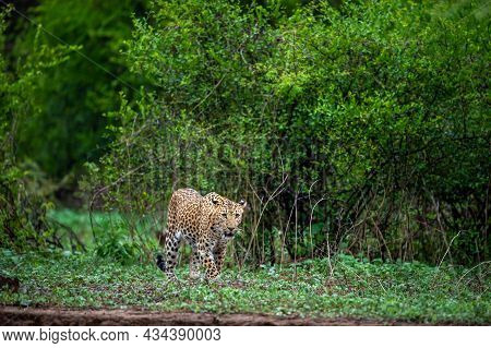 Indian Wild Male Leopard Or Panther Walking Head On With Eye Contact In Natural Green Background Rai