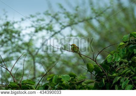Green Bee Eater Or Merops Orientalis Perched On A Branch In Natural Green During Rainy And Monsoon S