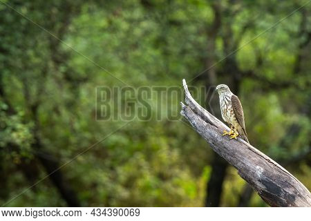 Shikra Or Accipiter Badius Or Little Banded Goshawk Bird Portrait Perched In Natural Green Backgroun