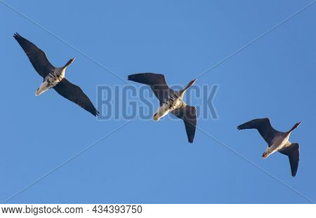 Three Mature Greater White-fronted Geese (anser Albifrons)  Fly Above In Morning Blue Sky