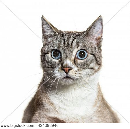 Portrait of small mixed-breed domestic cat blue eyed, isolated