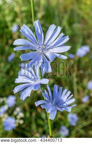 Chicory plant in blossom. Beautiful blue flowers close up. Nature background.