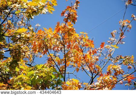 Yellow, Orange, Green, Red Leaves Of Tree On Background Of Blue Sky. Autumn Concept. Autumn Foliage