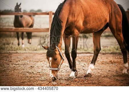 A Beautiful Bay Horse With A Dark Mane Is Standing In A Paddock On A Farm And Eating Grass, And Ther