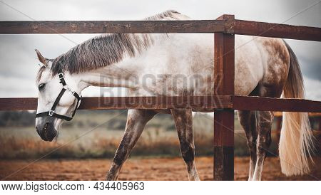 A Beautiful Gray Horse With A Long Tail And A Halter On Its Muzzle, Which Is Grazing Next To A Woode
