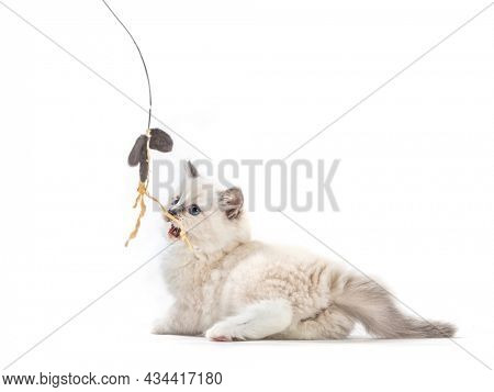 Ragdoll cat kitten playing with catfish rod. Isolated on white