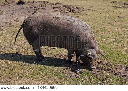 A Very Large Pig Digging In The Mud With Its Nose