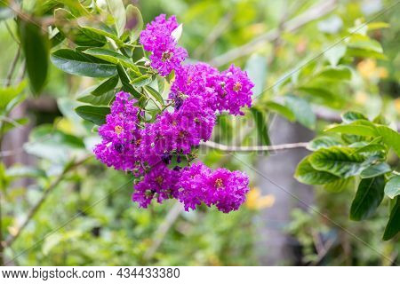 Lagerstroemia Indica Flower Is A Large Bouquet Of Purple Hanging From The Tree. Lagerstroemia Indica
