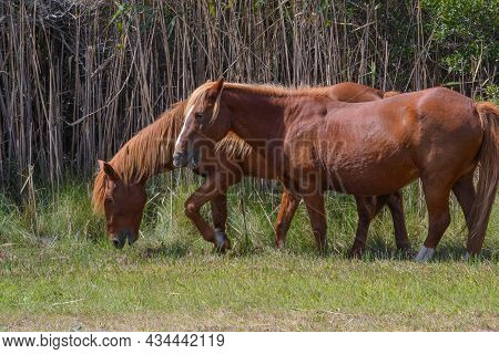 Two Wild Brown Horses With Light Beige Manes Munching On Grass Along A Trail Near A Roadway In Assat