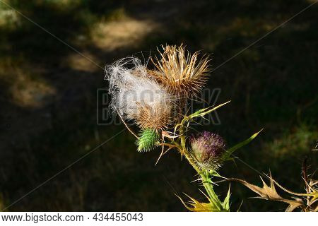Thistle . A Perennial Species Of Flowering Plant In The Family Asteraceae