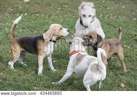 English Beagle Puppy, Afghan Hound Puppy, Border Terrier Puppy And Multibred Dog Are Playing In The