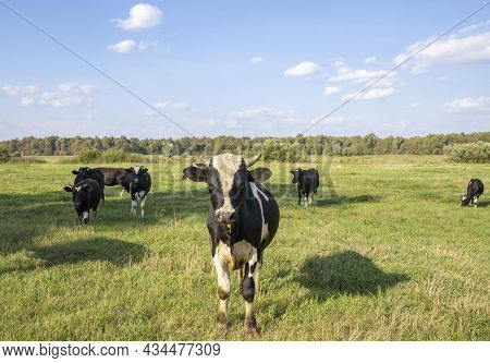 Cows On A Green Field Grazing On A Farmer\'s Green Grass. Beautiful Landscape With Cows In The Summe
