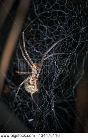 Dictine Spiders Weavers Dictynidae Are A Family Of Araneomorphic Spiders From The Superfamily Dictyn