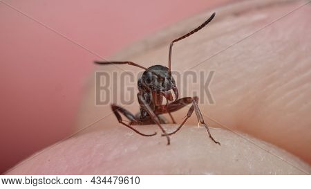 Ant Close-up Between The Toes. Large Ant Held Captive By Man, Arthropod, Insect, Animal. Wildlife, W