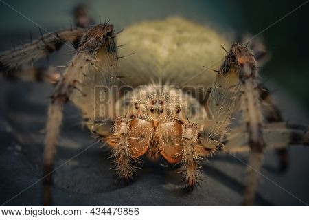 Scary Giant House Spider, Arachnophobia Caused By A Terrible Species Of Insect, Soft Focus, Selectiv