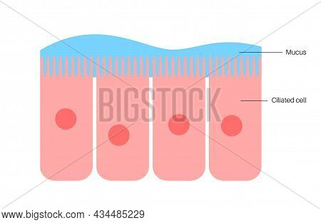 Nasal Mucosa Flat Vector Anatomical Icon. Epithelium In The Nose, Gut, Stomach Or Colon. Human Olfac