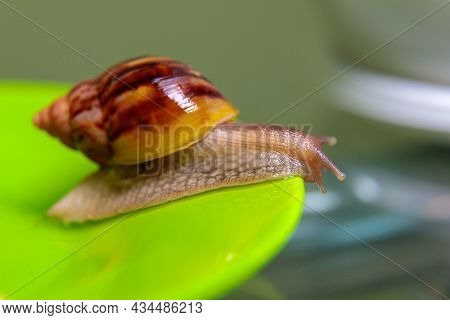 A Large White Snail Glides Along The Edge Of The Plate. Large White Mollusks Crawl Slowly. Close-up.