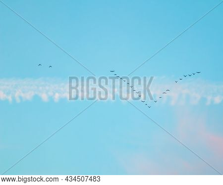 Flock Of Wild Birds Flying In A Wedge Against Blue Sky With White And Pink Clouds In Sunset