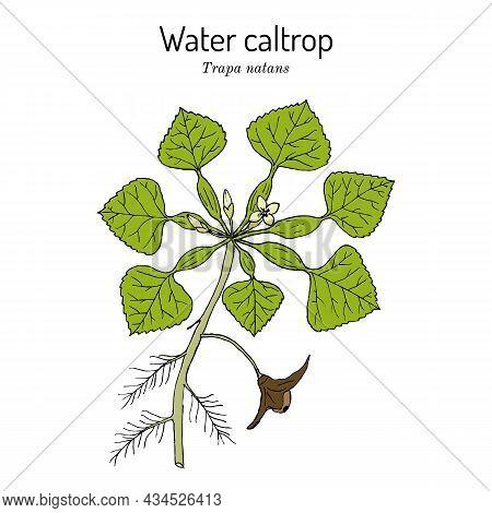 Water Caltrop Trapa Natans , Edible And Medicinal Aquatic Plant. Hand Drawn Botanical Vector Illustr