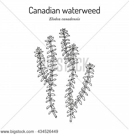 American Or Canadian Waterweed Elodea Canadensis , Aquatic Plant. Hand Drawn Botanical Vector Illust