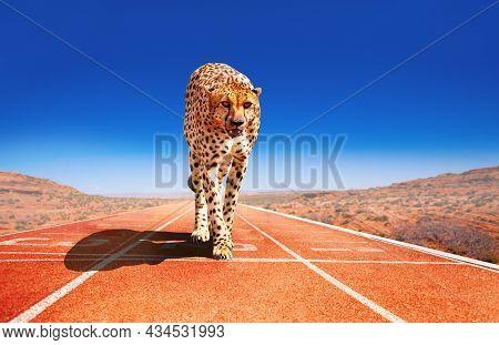 Cheetah With Predator Look On A Sprint Race Track